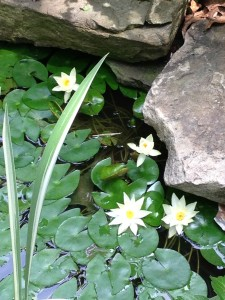 Water lilies in bloom in my front pond!  (Photo Credit: Adroit Ideals)