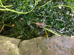 A young leopard frog perches on pond plants (Photo Credit: Adroit Ideals)
