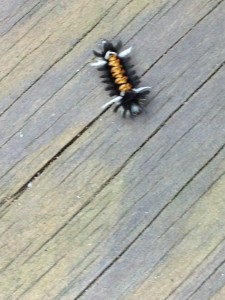 This insect was shiny white and gold and black and furry!  (Photo Credit: Adroit Ideals)