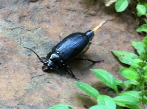 Female Broad-Necked Root Borer Beetle in my backyard (Photo Credit: Adroit Ideals)