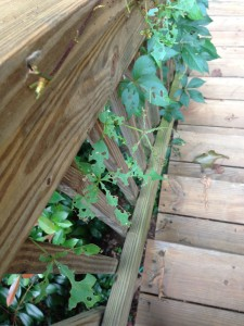 Japanese Beetle damage to a Virginia Creeper vine on my deck stair railing  (Photo Credit: Adroit Ideals)