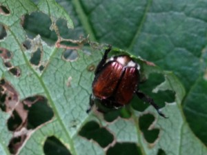 Japanese Beetle munches on a Virginia Creeper vine leaf  (Photo Credit: Adroit Ideals)