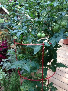 One of my three patio tomato plants for 2013 season (Photo Credit: Adroit Ideals)