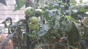 Green tomatoes on the vines (Photo Credit: Adroit Ideals)