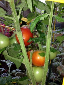 Ripening patio tomatoes on my back deck!  (Photo Credit: Adroit Ideals)
