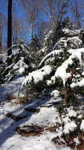 Snow-laden evergreen branches (Photo Credit: Adroit Ideals)