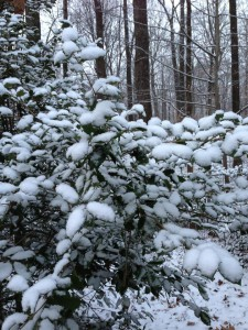 Powdery Snow on a Holly Bush (Photo Credit: Adroit Ideals)