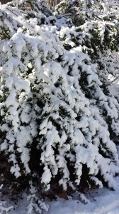 Snow-covered Japanese Holly bush looks pretty in the winter (Photo Credit: Adroit Ideals)