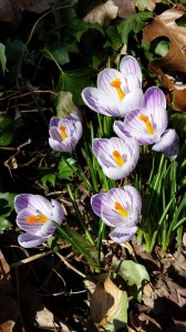 Pretty crocuses in bloom in my backyard.