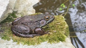 A large frog rests on a bed of moss at one of my backyard ponds