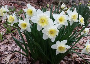 Daffodils blooming profusely even with the harsh winter season
