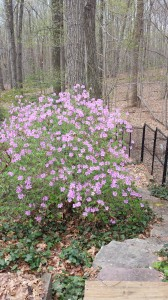 My lavender-colored deciduous azalea is one of the first to bloom in my garden.  Luckily, I have five of them!!