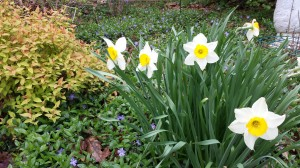 Daffodils and periwinkle vinca bloom in my front garden.  The spirea is coming along nicely with its chartreuse leaves.