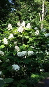 Oakleaf hydrangeas have showy flowers, are deer-resistant, and like shady gardens.