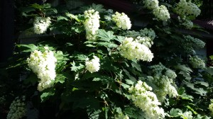 Huge oakleaf hydrangea flowers are bee-attractants.