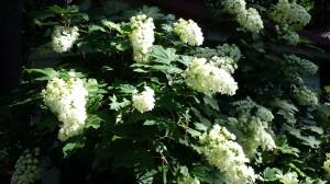 Huge oakleaf hydrangea flowers are bee-attractants.