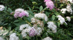 Pretty pink and white spirea in bloom.  Love this bush!