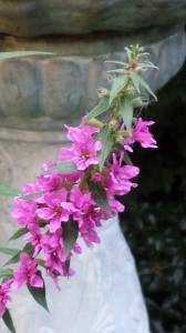 Pretty purple flowers bloom for the first time in years -- normally browsed by local deer