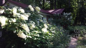 My amazing oakleaf hydrangeas are very prolific with flowers this year.