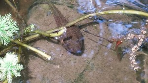 A bullfrog tadpole that was born in October and overwintered in the pond