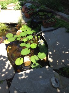 The lily pad blooms in my neighbors' new pond