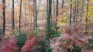 The view from my upper deck over my vivid red Japanese maples