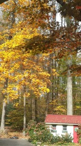 Gorgeous hickory tree turns a bright golden yellow