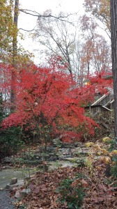 Gorgeous vivid red Japanese maple next to my ponds
