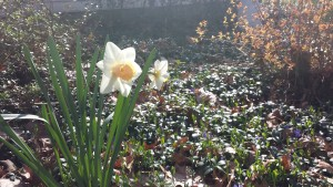 Daffodil with Apricot Center (Photo Credit: Adroit Ideals)