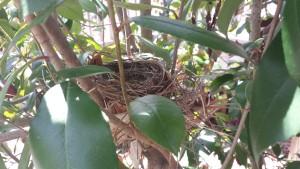 Mr. and Mrs. Cardinal have built a nest (Photo Credit: Adroit Ideals)