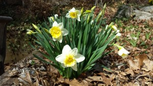 "Love these ""double"" daffodil flowers (Photo Credit: Adroit Ideals)"