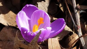 My first purple crocus of the Spring 2015 season! (Photo Credit: Adroit Ideals)