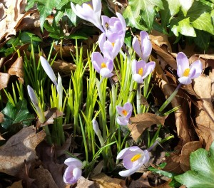 Pale purple crocuses sneak up through the leaves (Photo Credit: Adroit Ideals)