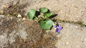 Cute little violet growing in my patio pavers (Photo Credit: Adroit Ideals)