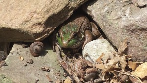 A frog peers out from under a rocky hiding place (Photo Credit: Adroit Ideals)
