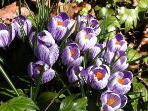 Purple and White Striped Crocuses (Photo Credit: Adroit Ideals)