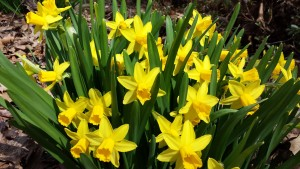 Pretty yellow daffodils in my garden (Photo Credit: Adroit Ideals)
