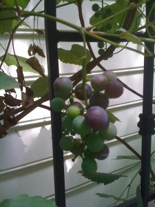 Grapes starting to ripen in a private garden (Photo Credit: Adroit Ideals)