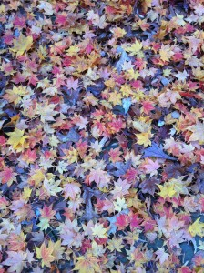 Colorful Fall Leaves (Photo Credit: Adroit Ideals)