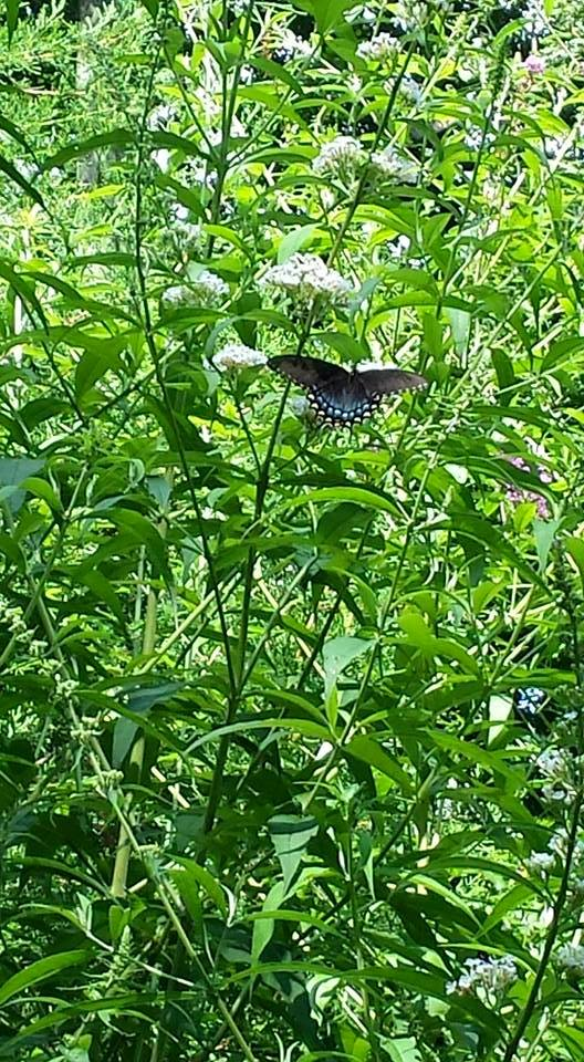 The white butterfly bush attracts a black swallowtail butterfly  (Photo Credit: Adroit Ideals)