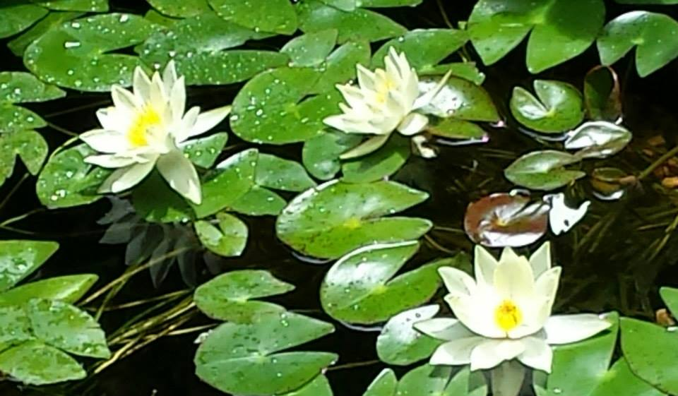 The lily pad plant is in bloom in the front pond (Photo Credit: Adroit Ideals)