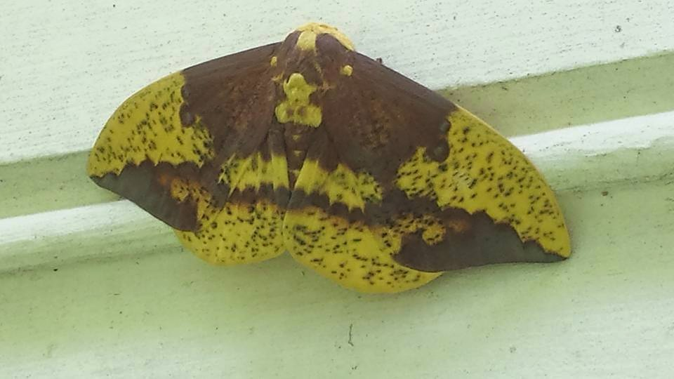 An imperial moth stopped by for a visit  (Photo Credit: Adroit Ideals)