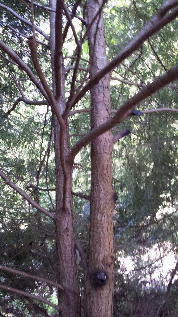 A neighbor's day laborers improperly hacked these hemlocks' branches off at the trunk with machetes