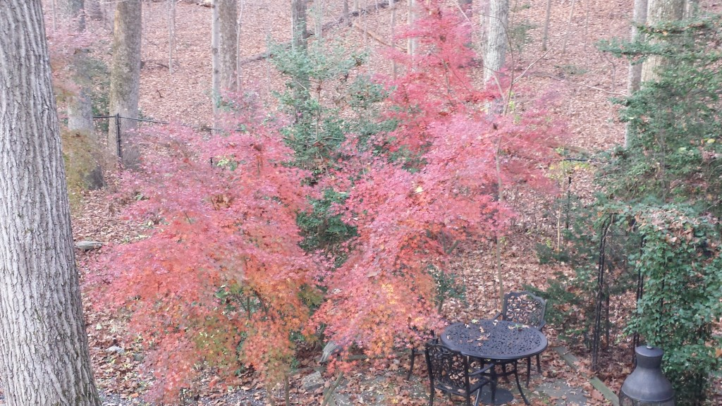 Gorgeous Japanese maples surrounding the patio at my back yard ponds