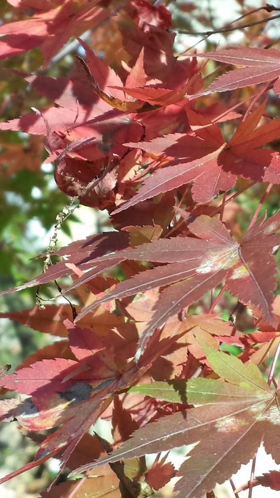 Autumn colors in my Japanese maple leaves