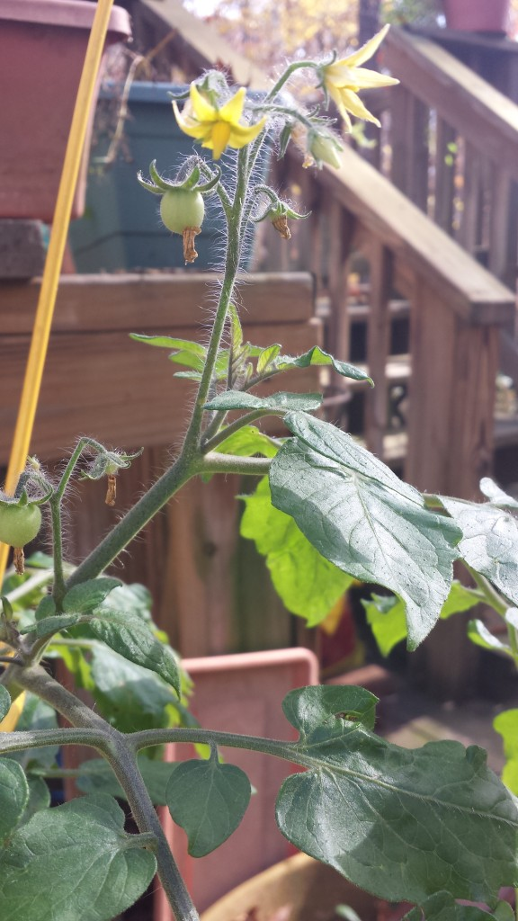 My Super Sweet 100 cherry tomato plant went wild this year!  It was still blooming into mid-October.