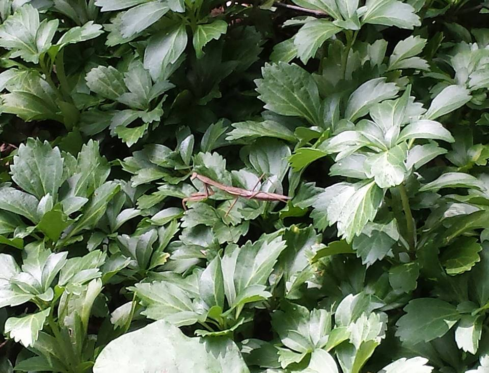 Brown Praying Mantis was after a horsefly