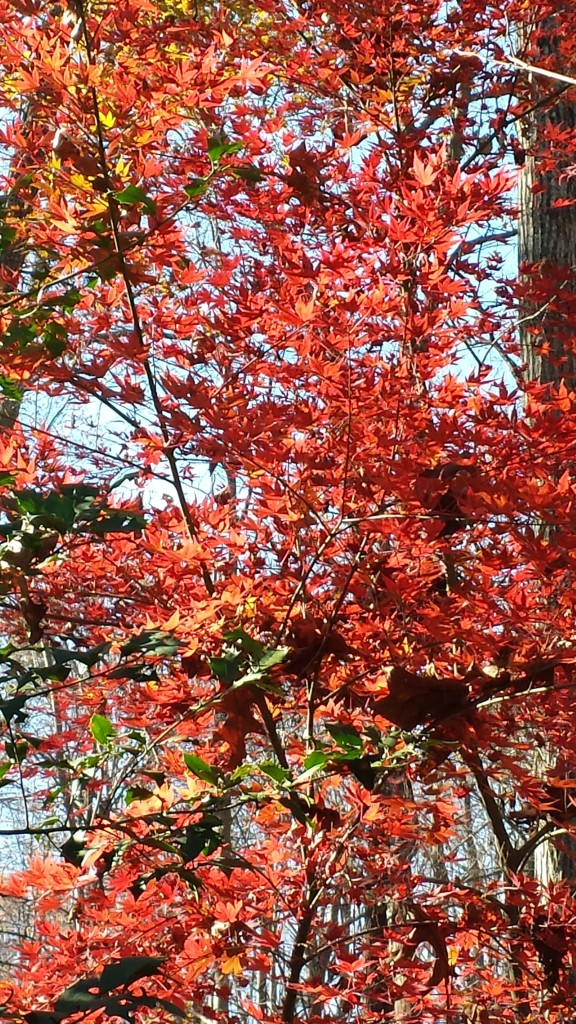 Gorgeous Japanese maples in full Fall color