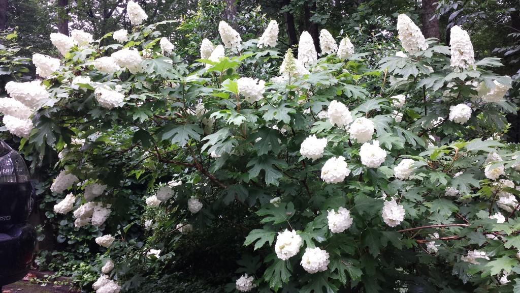 Oakleaf hydrangea in full bloom