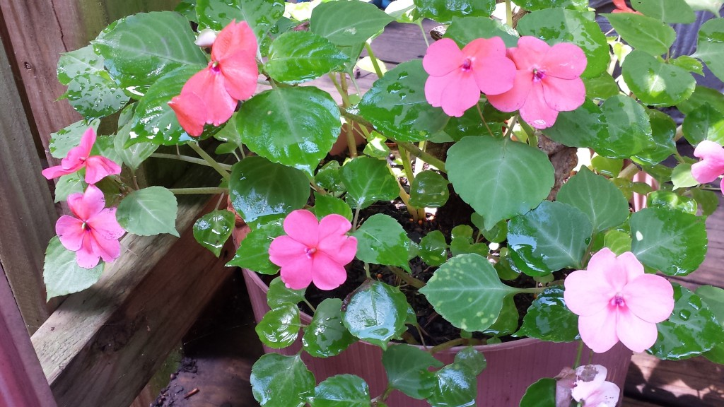 Pretty pink impatiens that have survived impatiens blight and come back year after year